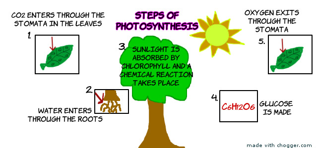 the steps of photosynthesis I overview of photosynthesis: 4 stages: 1 light absorption: electrons are pulled from water, and o2 is all steps take place in one chloroplast in one cell type.